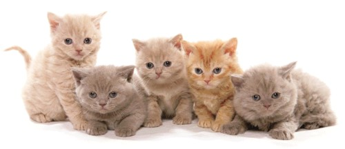 kittens-british-shorthair